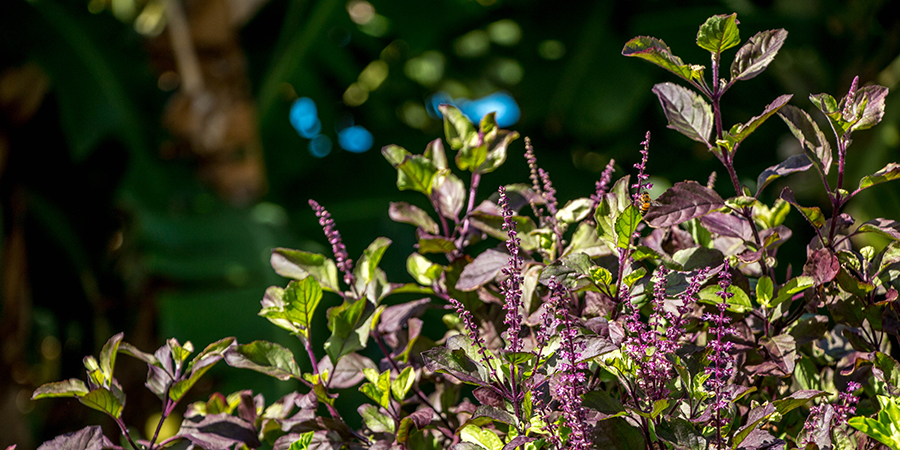 the tulsi plant has great benefits for adaptogenic support