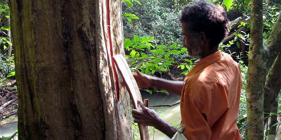 harvesting arjuna bark