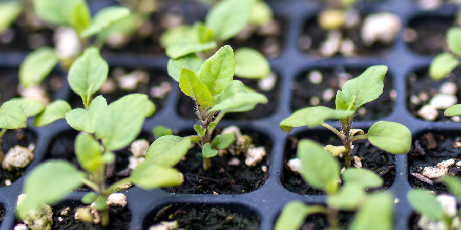 Ashwagandha seedlings from the Banyan Botanicals Farm