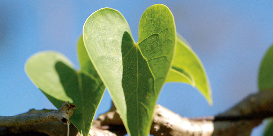 heart-shaped guduchi leaves