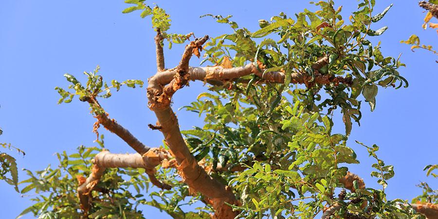 Boswellia serrata (Indian frankincense) tree
