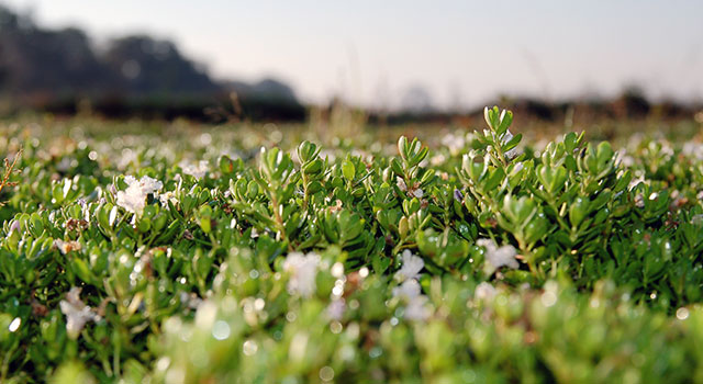 Co-Creating Health with Bacopa