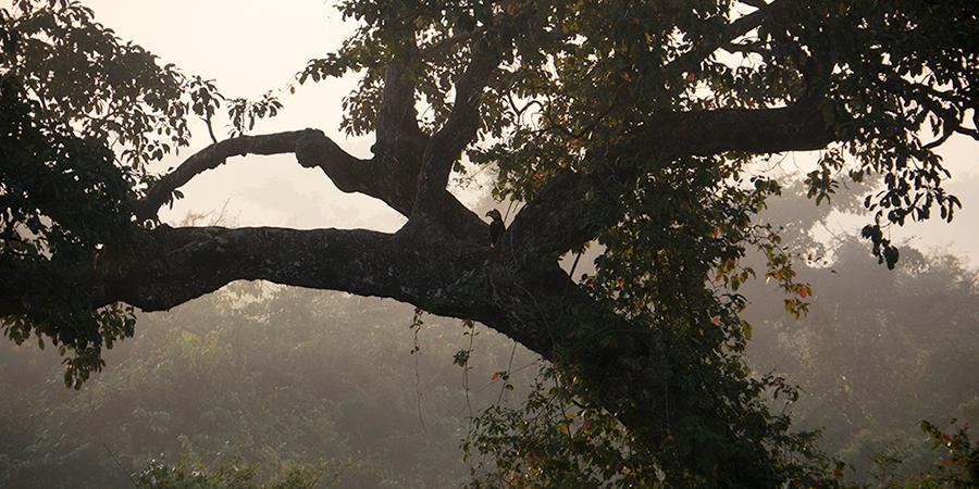 Bibhitaki tree