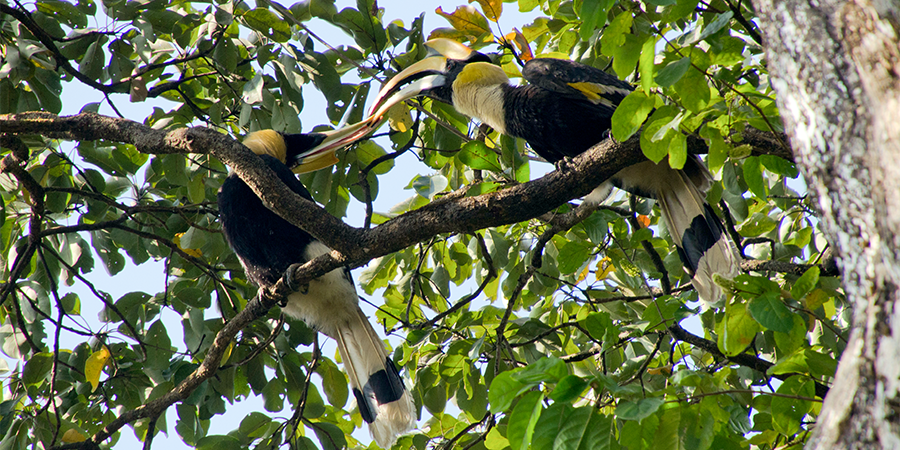 Great pied hornbill pair in bibhitaki tree