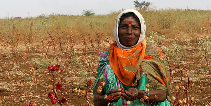 harvesting hibiscus