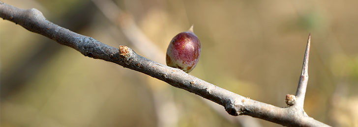 guggulu fruit
