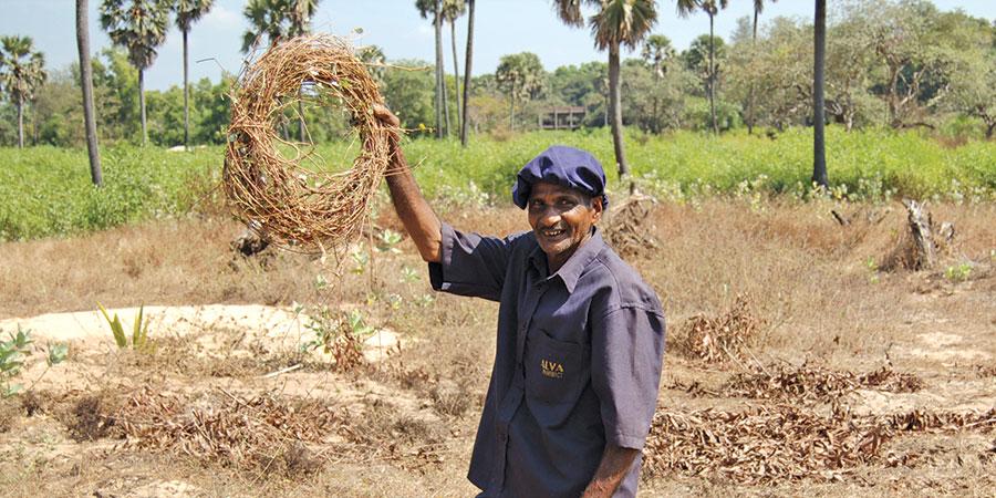 Harvesting punarnava in India