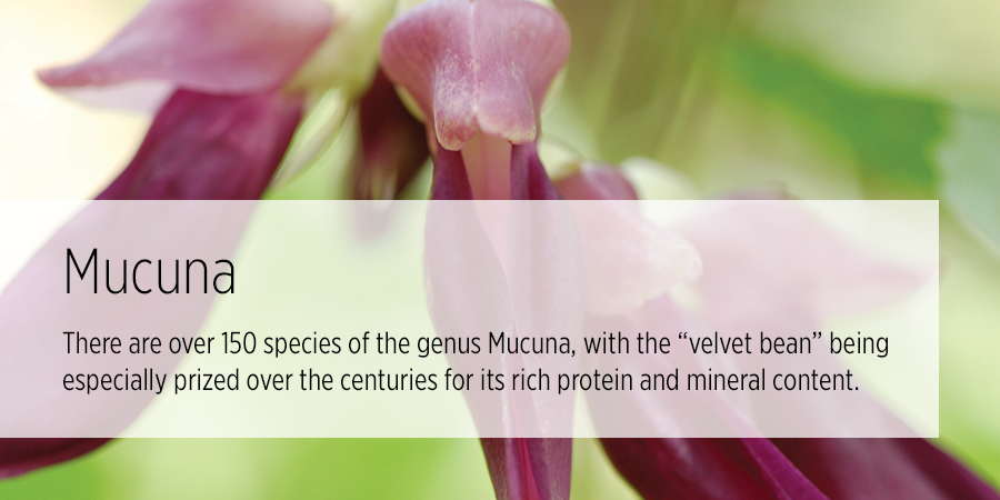 mucuna benefits