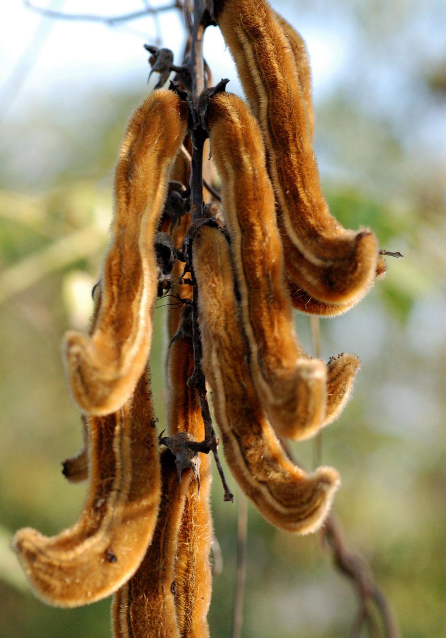 mucuna seed pods