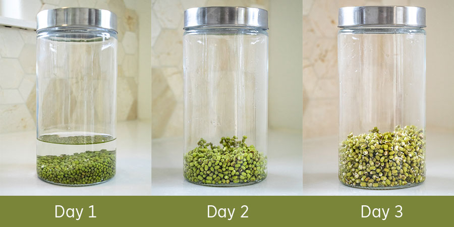 Growing mung sprouts