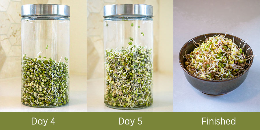 Growing mung sprouts and placing in a bowl when finished