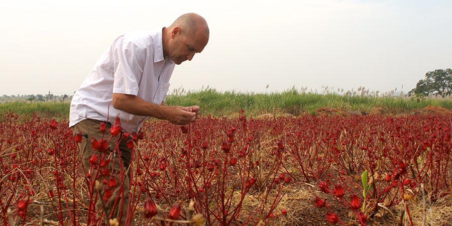 Hibiscus harvest