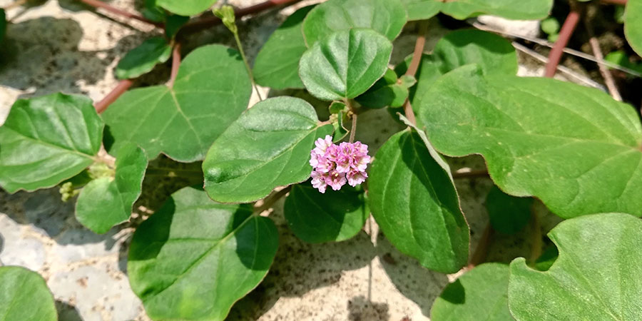 Punarnava plant growing near rock