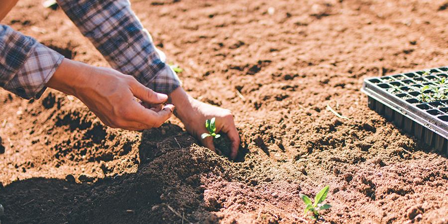 organic ashwagandha harvest