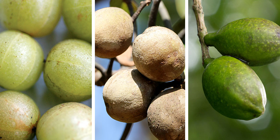 The 3 Fruits in Triphala