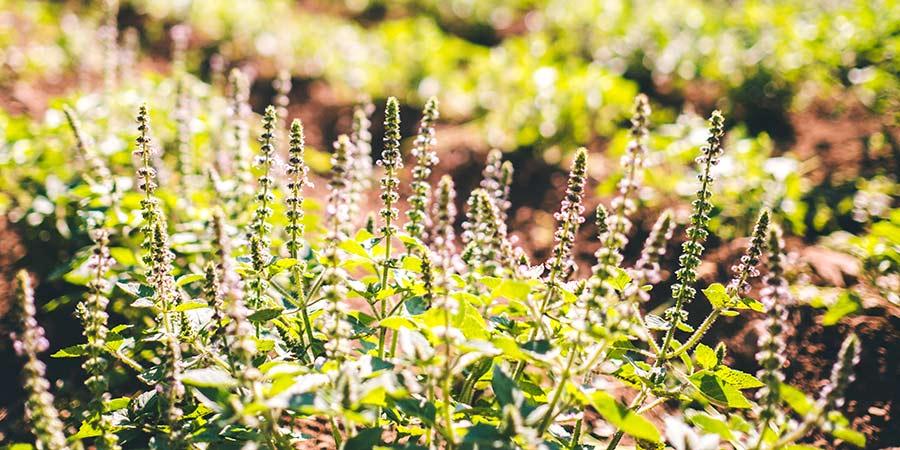Tulsi plants in a field