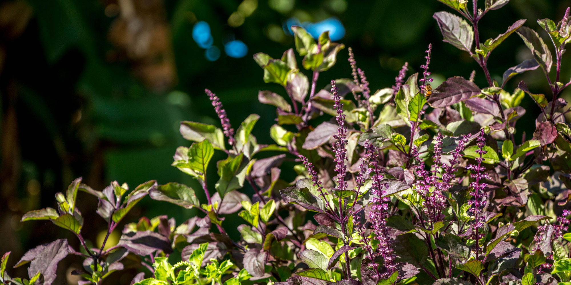 Getting To Know Your Herbal Allies Tulsi Banyan Botanicals