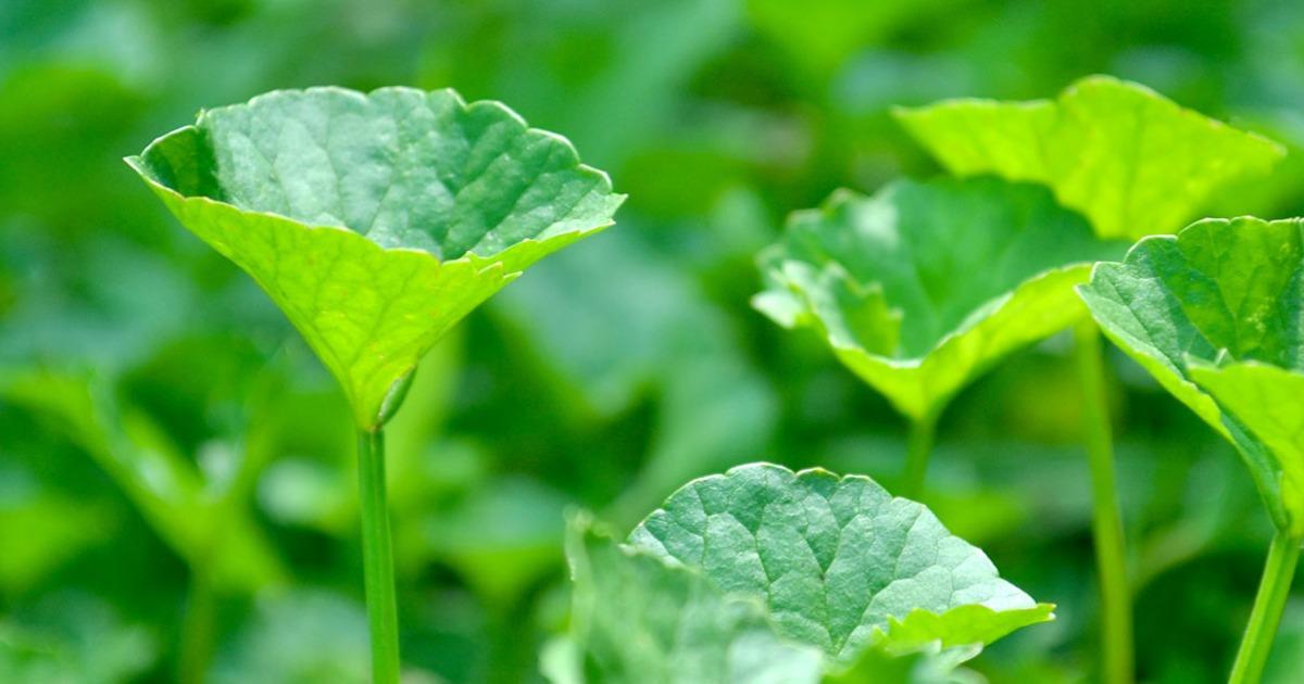 Brahmi/Gotu Kola: Getting to Know Your Herbal Allies | Banyan Botanicals