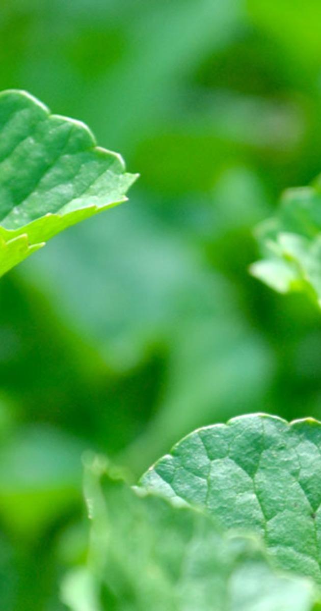 Getting to Know Your Herbal Allies: Brahmi/Gotu Kola (Centella