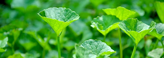 Getting to Know Your Herbal Allies: Brahmi/Gotu Kola
