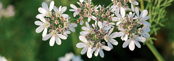 Coriander: Getting to Know Your Herbal Allies