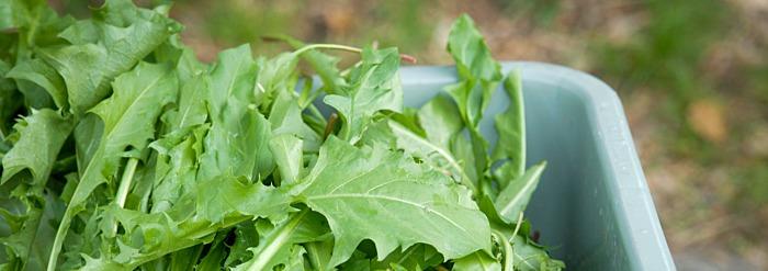 Spring Recipe: Dandelion Greens to Balance Kapha Dosha
