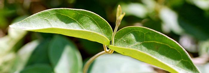 Getting to Know Your Herbal Allies: Shardunika (Gymnema sylvestre)