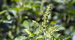 Getting to Know Your Herbal Allies: Tulsi