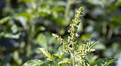 Getting to Know Your Herbal Allies: Vasaka | Banyan Botanicals
