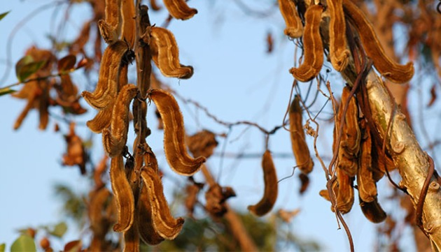 Mucuna Pruriens: Getting to Know Your Herbal Allies