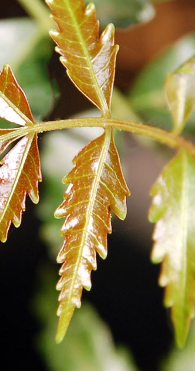 6 Ways to Use Neem for Skin & Hair | Banyan Botanicals