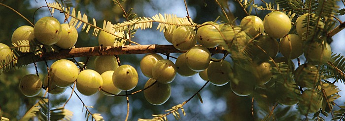 Growing and Harvesting Amalaki (Amla)