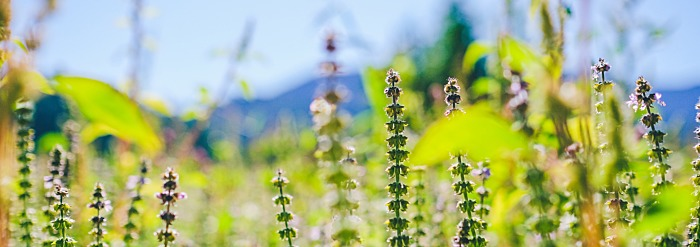 Tulsi: Getting to Know Your Herbal Allies