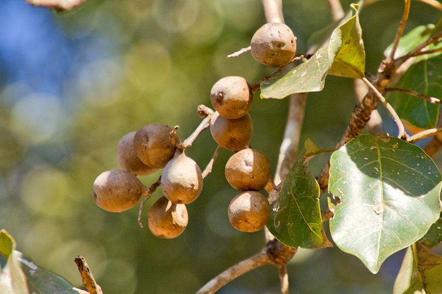 Bibhitaki fruit
