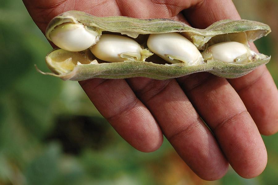 Mucuna / Kapikacchu seeds